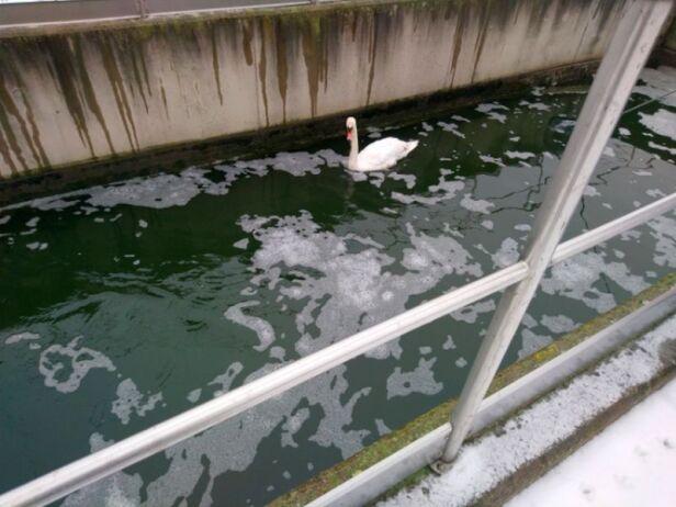 Łabędź uratowany przez strażniczki z Ekopatrolu  straż miejska