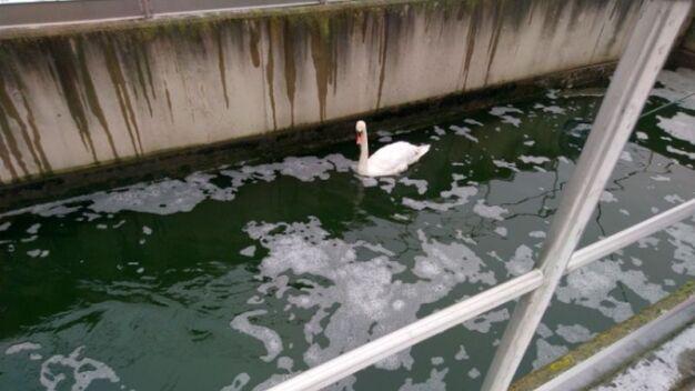 Łabędź utknął w kanale