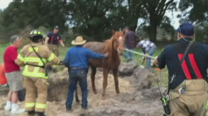 Koń wpadł do dziury. Wyciągnęłi zwierzę strażacy