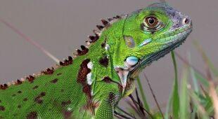 Legwan zielony występuje głównie w Ameryce środkowej